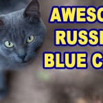 Russian Blue Cat Video