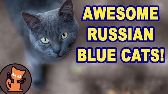 Russian Blue Cat Video